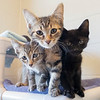 Joseph Weiser | The Goshen News<br /> Baby kittens awaiting adoption at the Elkhart County Humane Society on Monday.