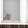 A bear sits in the window at 516 S. 7th. St., Goshen,  for the Bear Parade in Goshen Monday morning. Residents in the community are putting bears in their windows to give walkers something to look for while exercising during the stay at home quarantine period.