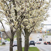 Apple blossom trees along Third Street are in bloom Wednesday in Goshen. Today is the 50th Anniversary of Earth Day. Earth Day was started by Senator Gaylord Nelson of Wisconsin in April 22, 1970.