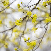 Yellow flowers are in bloom on the tree in front of Parkside Elementary School Wednesday in Goshen. Today is the 50th Anniversary of Earth Day. Earth Day was started by Senator Gaylord Nelson of Wisconsin in April 22, 1970.