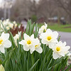 Daffodils are in bloom at the flowerbed in front of Shanklin Park Wednesday in Goshen. Today is the 50th Anniversary of Earth Day. Earth Day was started by Senator Gaylord Nelson of Wisconsin in April 22, 1970.