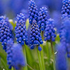 "Grape hyacinth flowers are in bloom at the flowerbed in front of the ""Historic Southside Neighborhood"" sign Wednesday in Goshen. Today is the 50th Anniversary of Earth Day. Earth Day was started by Senator Gaylord Nelson of Wisconsin in April 22, 1970."