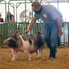 Bryce Resler walks his pig in swine showroom Friday during the 2020 4-H Showcase at the Elkhart County 4-H Fairgrounds in Goshen.
