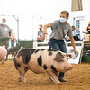 Macey Riegsecker directs her pig around the swine showroom Friday during the 2020 4-H Showcase at the Elkhart County 4-H Fairgrounds in Goshen.