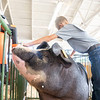 Gavin Abbs prepares his pig for showing in the swine barn Friday during the 2020 4-H Summer Showcase at the Elkhart County 4-H Fairgrounds in Goshen. The showcase ends today after round-robin competitions.