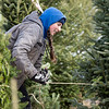The Stanger Group general labor Staci Woolley uses twine to baile a fir tree Tuesday morning at the family farm near the 6400 block of East 500 South in Wolcottville.