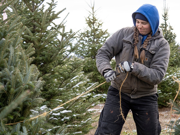 Stanger Group employee Staci Woolley uses twine to bail a fir tree Tuesday morning at a farm near Wolcottville. The Stanger family will offer Christmas trees to those who need one for donations, or even free, the next two Saturdays at their Goshen location.