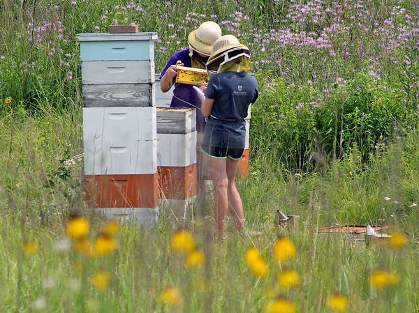 Roger Schneider   The Goshen News<br /> Andy Ammons, left, a professor of biology at Goshen College, and sophomore Alexa Kennel, check the status of bees included in an ongoing scientific study. Ammons said the bees are colored and their behavior is monitored to see how it changes over time. The study is part of the college's Maple City Scholars research program.