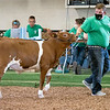 Keaton Kitson walks his steer Wednesday during the 2020 4-H Showcase at the Elkhart County 4-H Fairgrounds in Goshen.