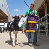 Andrew Lengacher, of Goshen, exits the showroom after being selected as the Champion Master Showman Dairy Feeder Calf of Elkhart County 4-H Fair Wednesday during the 2020 4-H Showcase at the Elkhart County 4-H Fairgrounds in Goshen.