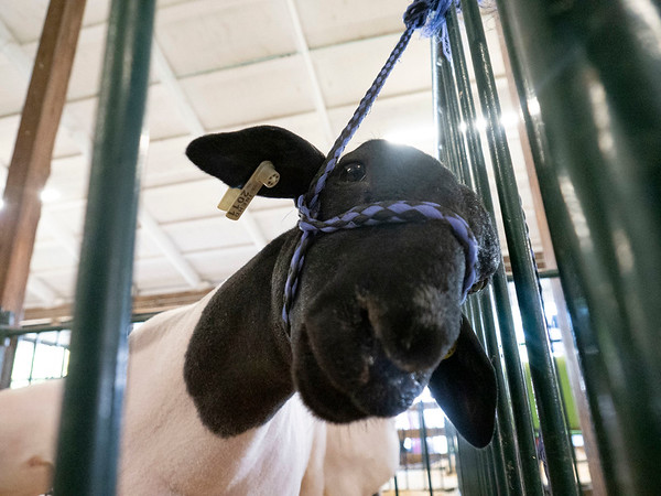 A lamb tied up awaiting to be shown Tuesday during the 2020 4-H Showcase at the Elkhart County 4-H Fairgrounds in Goshen.