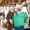 Brooks Geiger walks his dairy feeder calf towards the showroom Wednesday during the 2020 4-H Showcase at the Elkhart County 4-H Fairgrounds in Goshen.