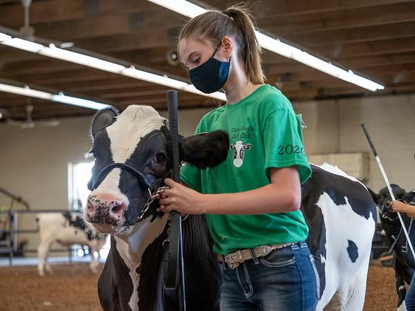 Kealee Dillon walks her steer Wednesday during the 2020 4-H Showcase at the Elkhart County 4-H Fairgrounds in Goshen.