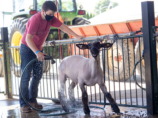 Brad Yoder, 13, of Middlebury, washes his lamb in preparation for showing Tuesday during the 2020 4-H Showcase at the Elkhart County 4-H Fairgrounds in Goshen.