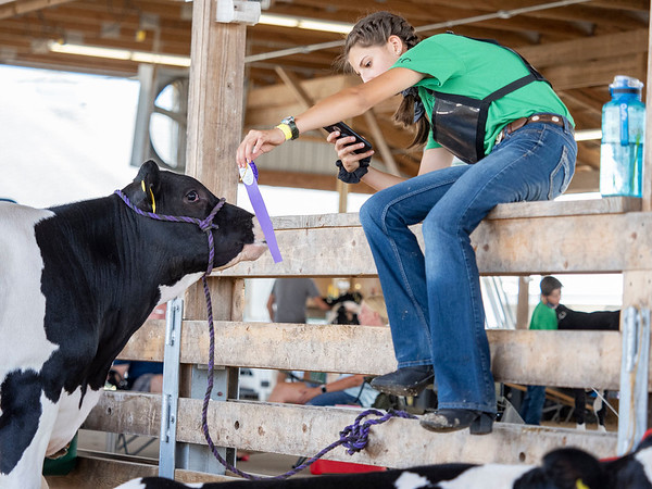 Bridgette Stutsman, 14, of Elkhart, takes a photo of her dairy feeder calf Wednesday during the 2020 4-H Showcase at the Elkhart County 4-H Fairgrounds in Goshen. Stutsman was awarded honor showman for her class.