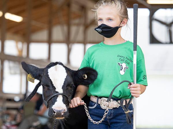 Natalie Lenker, 11, of Middlebury, walks her dairy feeder calf towards the showroom Wednesday during the 2020 4-H Showcase at the Elkhart County 4-H Fairgrounds in Goshen.