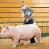 Avery Hess walks her pig around the swine showroom Thursday during the 2020 4-H Showcase at the Elkhart County 4-H Fairgrounds in Goshen.