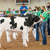 Lauren Mikel lines her steer with the rest of the participants Wednesday during the 2020 4-H Showcase at the Elkhart County 4-H Fairgrounds in Goshen.