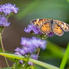 """A orange butterfly lands on a purple flower Thursday morning at DeFries Gardens in New Paris. The month os September is Bug Month for the Elkhart County Parks Department. For more information visit their website <a href=""""https://elkhartcountyparks.org/events/"""">https://elkhartcountyparks.org/events/</a>."""