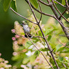 """A hummingbird perches on a brand Thursday morning at DeFries Gardens in New Paris. The month os September is Bug Month for the Elkhart County Parks Department. For more information visit their website <a href=""""https://elkhartcountyparks.org/events/"""">https://elkhartcountyparks.org/events/</a>."""