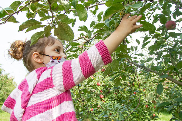 Savannah Hazen, 3, of Goshen, picks an apple during a family outing Friday afternoon at Kercher Sunrise Orchard, located at 19498 C.R. 38, Goshen. Owner Maureen Kercher said the farm continues to host school children on field trips. The children must take the same cautions against the COVID-19 virus as their schools require in a classroom setting.