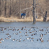 A local bird watcher looks though their spotting scope to count the waterfowl in a pond along the 72,000 block of County Road 35, in Syracuse.
