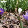 Purple and white flowers are starting to bloom Thursday at Bonneyville Mill County Park in Bristol.