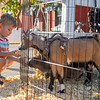 Salem Crough, 3, of Nappanee, feed a pig and goat Friday during the First Fridays Harvest Festival in Goshen.