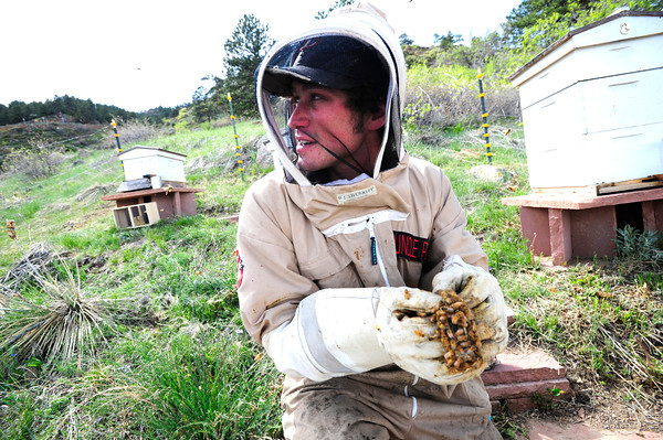 "Beekeeper Peter Rountree checks the condition of a new Queen Bee as they work to repopulate their hives in Boulder Thursday afternoon April 19, 2012. <br /> For more photos and video of the beekeepers go to  <a href=""http://www.dailycamera.com"">http://www.dailycamera.com</a><br /> <br /> Photo by Paul Aiken   /  The Camera"