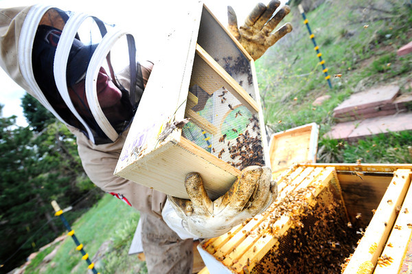 "Beekeeper Nick Gold dumps some newly purchased bees into a hive as he works to repopulate a series of hives in Boulder Thursday afternoon April 19, 2012. <br /> For more photos and video of the beekeepers go to  <a href=""http://www.dailycamera.com"">http://www.dailycamera.com</a><br /> <br /> Photo by Paul Aiken   /  The Camera"