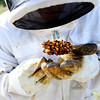 """Beekeeper Nick Gold checks the condition of a new Queen Bee as they work to repopulate their hives in Boulder Thursday afternoon April 19, 2012. <br /> For more photos and video of the beekeepers go to  <a href=""""http://www.dailycamera.com"""">http://www.dailycamera.com</a><br /> <br /> Photo by Paul Aiken   /  The Camera"""
