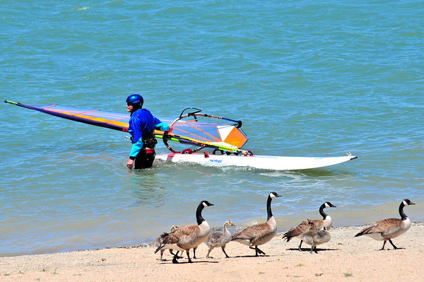 A group of geese obliviously walk by an unnamed wind surfer at Boulder Reservoir Tuesday.