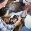 BEN GARVER — THE BERKSHIRE EAGLE<br /> Billy Mangiardi, Director of Facilities and Farm at Hancock Shaker Village and Chloe Geffken help a baby goat nurse for the first time at Hancock Shaker Village, Wednesday, March 27, 2019. The baby learned quickly and was left alone to bond with its mother.