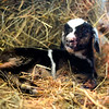 BEN GARVER — THE BERKSHIRE EAGLE<br /> This baby goat is  just an hour old in the Round Barn at Hancock Shaker Village, Wednesday, March 27, 2019.