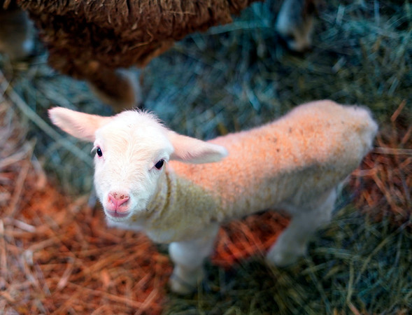 BEN GARVER — THE BERKSHIRE EAGLE<br /> A baby lamb just a few hours old peers at the camera while staying close to its mother in the Round Barn at Hancock Shaker Village, Wednesday, March 27, 2019.