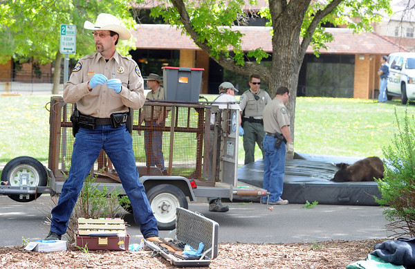 """John Koehler, left, of the Colorado Division of Wildlife, was the person to tranquilize the bear on the right.<br /> An adult male black bear was removed from Williams Village on the University of Colorado campus on Thursday.<br /> For more photos and a video of the bear, go to  <a href=""""http://www.dailycamera.com"""">http://www.dailycamera.com</a>.<br /> Cliff Grassmick / April 26, 2012"""