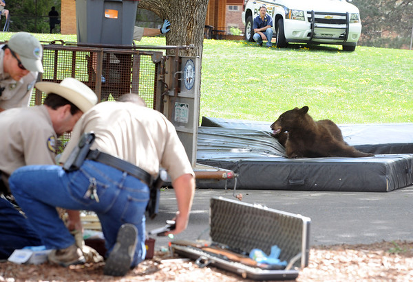 """The bear in the tree was tranquilized and dropped to mats placed on the ground. Officers fro the Colorado Division of Wildlife prepare to get the bear ready for transport.<br /> An adult male black bear was removed from Williams Village on the University of Colorado campus on Thursday.<br /> For more photos and a video of the bear, go to  <a href=""""http://www.dailycamera.com"""">http://www.dailycamera.com</a>.<br /> Cliff Grassmick / April 26, 2012"""