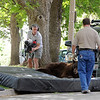 "The bear in the tree was tranquilized and dropped to mats placed on the ground.<br /> An adult male black bear was removed from Williams Village on the University of Colorado campus on Thursday.<br /> For more photos and a video of the bear, go to  <a href=""http://www.dailycamera.com"">http://www.dailycamera.com</a>.<br /> Cliff Grassmick / April 26, 2012"
