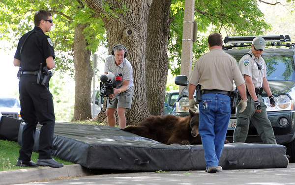 """The bear in the tree was tranquilized and dropped to mats placed on the ground.<br /> An adult male black bear was removed from Williams Village on the University of Colorado campus on Thursday.<br /> For more photos and a video of the bear, go to  <a href=""""http://www.dailycamera.com"""">http://www.dailycamera.com</a>.<br /> Cliff Grassmick / April 26, 2012"""