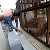 "CU student, Jazzmine Chatman, is amazed by the level of cuteness of the bear.<br /> An adult male black bear was removed from Williams Village on the University of Colorado campus on Thursday.<br /> For more photos and a video of the bear, go to  <a href=""http://www.dailycamera.com"">http://www.dailycamera.com</a>.<br /> Cliff Grassmick / April 26, 2012"