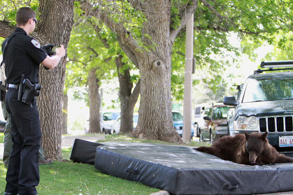 A CU police officer takes a photo of the bear that wandered into the CU-Boulder dorm complex Williams Village on Thursday, April 26, 2012. CU Police Spokesman Ryan Huff said the bear was likely 1-3 years old and weighed somewhere between 150-200 pounds.  (Courtesy Andy Duann / CUIndependent.com)