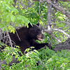 "The bear spent a good deal of time in a tree next to Williams Village.<br /> An adult male black bear was removed from Williams Village on the University of Colorado campus on Thursday.<br /> For more photos and a video of the bear, go to  <a href=""http://www.dailycamera.com"">http://www.dailycamera.com</a>.<br /> Cliff Grassmick / April 26, 2012"