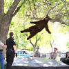 A bear that wandered into the CU-Boulder dorm complex Williams Village falls from a tree after being tranquilized by Colorado Wildlife officials around 10:30 a.m. CU Police Spokesman Ryan Huff said the bear was likely 1-3 years old and weighed somewhere between 150-200 pounds. (Courtesy Andy Duann / CUIndependent.com)