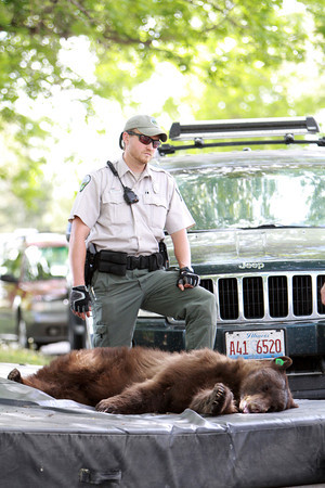 A bear that wandered into the CU-Boulder dorm complex Williams Village rests on a mat barrowed from a CU rec center after being tranquilized by Colorado Wildlife officials around 10:30 a.m. on Tuesday, April 26, 2012. CU Police Spokesman Ryan Huff said the bear was likely 1-3 years old and weighed somewhere between 150-200 pounds.  (Courtesy Andy Duann / CUIndependent.com)