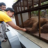 """CU student, Jasper Vue, touches the tranquilized bear's foot.<br /> An adult male black bear was removed from Williams Village on the University of Colorado campus on Thursday.<br /> For more photos and a video of the bear, go to  <a href=""""http://www.dailycamera.com"""">http://www.dailycamera.com</a>.<br /> Cliff Grassmick / April 26, 2012"""
