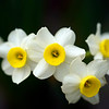 BEN GARVER — THE BERKSHIRE EAGLE<br /> Narcissus, more commonly known as Daffodil.<br /> The 2019 Bulb Show at the Berkshire Botanical Garden in Stockbridge is spectacular, Friday, March 15, 2019. This year, the garden has incorporated some South African bulbs in the show, resulting in a considerable variation in this tears offering in the Fitzpatrick Greenhouse.