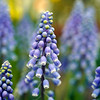 BEN GARVER — THE BERKSHIRE EAGLE<br /> Grape hyacinth.<br /> The 2019 Bulb Show at the Berkshire Botanical Garden in Stockbridge is spectacular, Friday, March 15, 2019. This year, the garden has incorporated some South African bulbs in the show, resulting in a considerable variation in this tears offering in the Fitzpatrick Greenhouse.