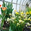 BEN GARVER — THE BERKSHIRE EAGLE<br /> <br /> The 2019 Bulb Show at the Berkshire Botanical Garden in Stockbridge is spectacular, Friday, March 15, 2019. This year, the garden has incorporated some South African bulbs in the show, resulting in a considerable variation in this tears offering in the Fitzpatrick Greenhouse.