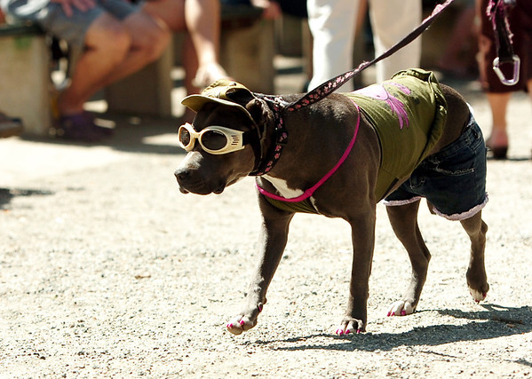 "Candy the pit bull wearing shorts, a t-shirt and doggles along with pink toe nails on Saturday, Sept. 3, during the Boulder Creek Hometown Fair in Boulder. For more photos and video of the fair go to  <a href=""http://www.dailycamera.com"">http://www.dailycamera.com</a><br /> Jeremy Papasso/ Camera"