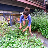 KRISTOPHER RADDER — BRATTLEBORO REFORMER<br /> Stephanie Bonin, with Downtown Brattleboro Alliance, weeds a flower bed as volunteers work on cleaning up for the second time in three weeks, what they dubbed Alley Lane, next to the Transportation Center, on Wednesday, July 31, 2019.